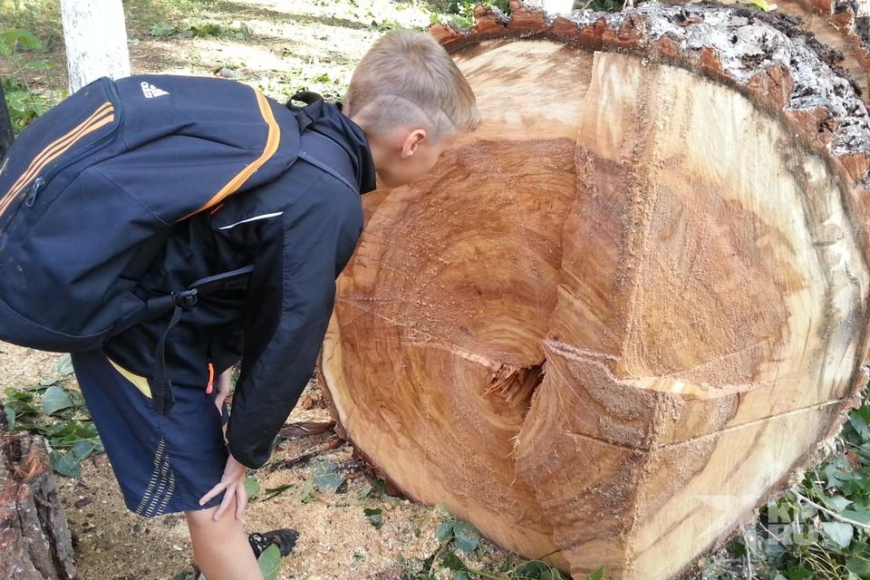 В Рязани нужно спилить 11 тысяч деревьев – на это нужно 132 млн рублей.