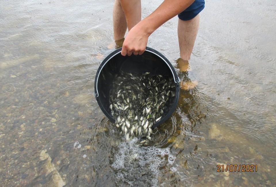В естественной среде рыба сможет достигнуть размера до 30 см и веса примерно 1,5 кг