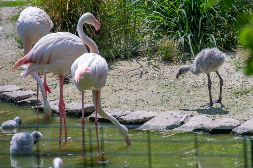 В зоопарке Ростова на свет появились розовые фламинго. Фото: ростовский зоопарк