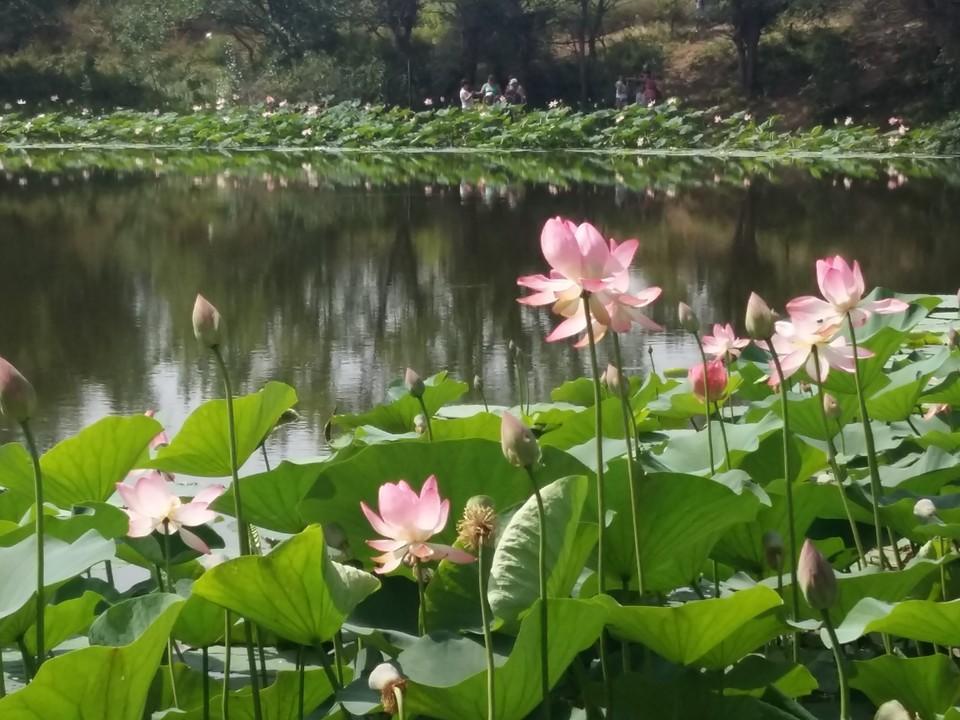 Пик цветения лотосов еще впереди.