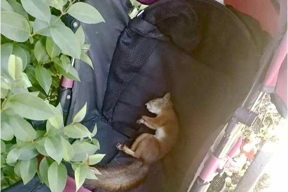 Сладко спящего бельчонка сфотографировали в Сочи. Фото: vk.com/my_nikel
