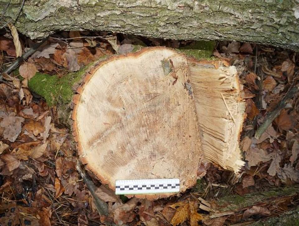 Из леса оказалось похищено больше 7 кубометров ценной древесины