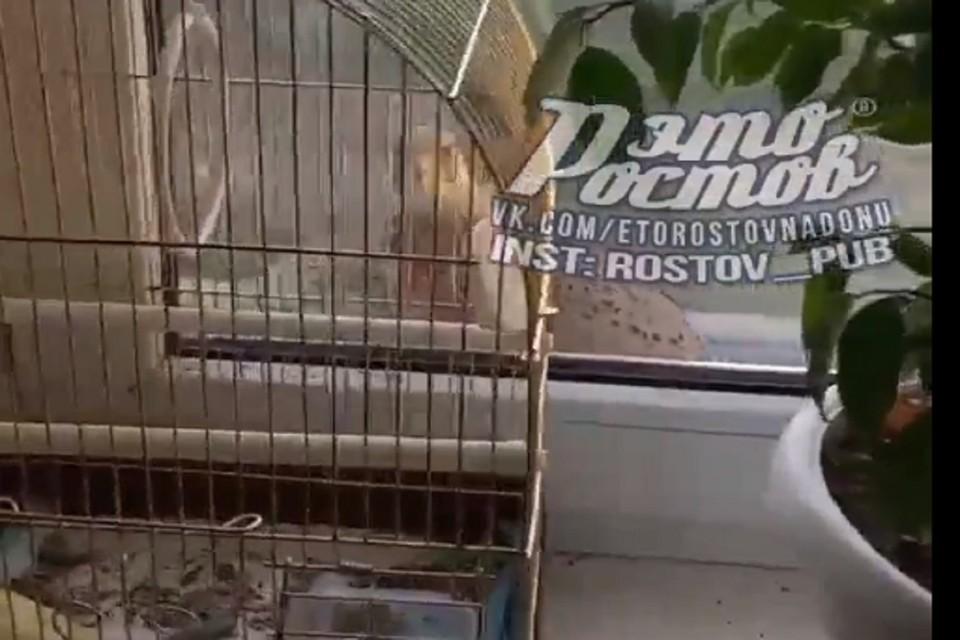 """Сокол открыл охоту на домашнего попугая. Фото: """"Это Ростов"""""""