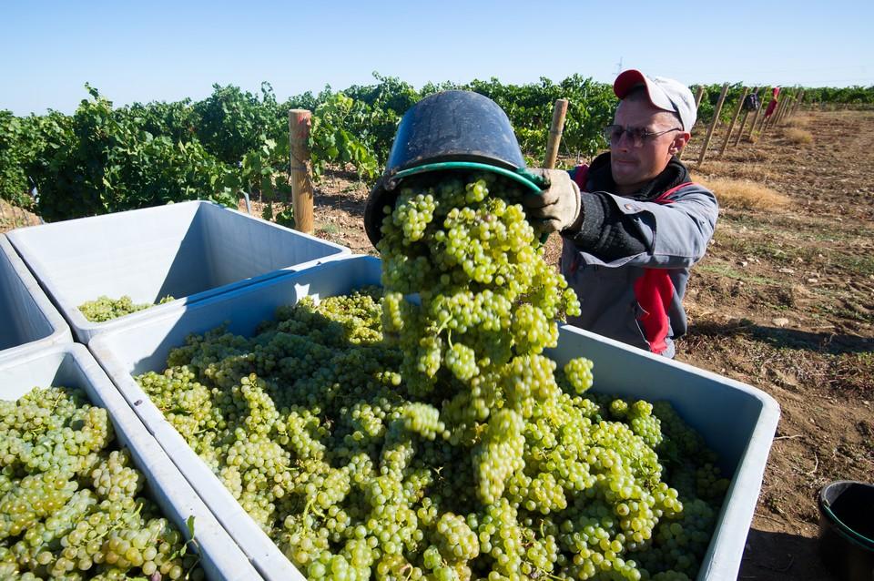 На виноградниках полным ходом идет сбор урожая