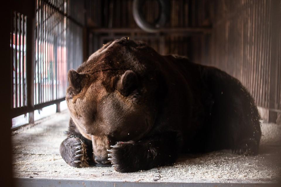 В Самарской области проверяют, законно ли на базе отдыха содержится медведь