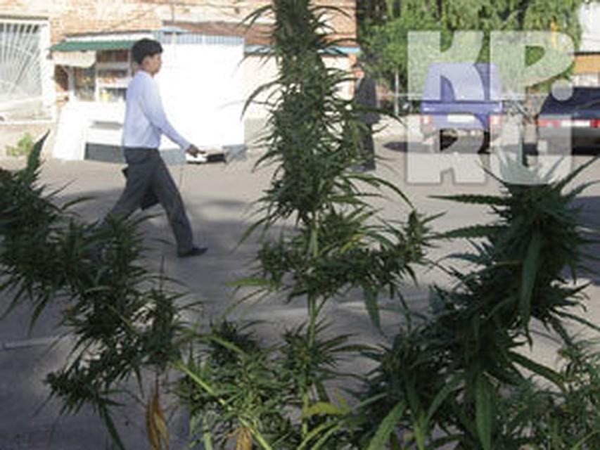 Конопля растет казань где купить марихуану в польше