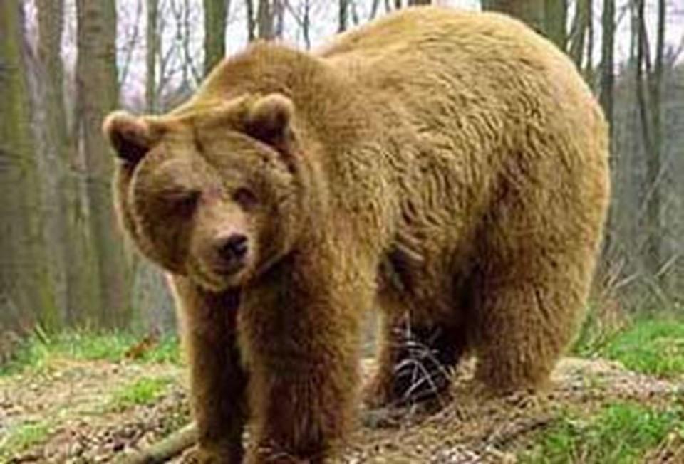 Что делать, чтобы не стать жертвой медведя?