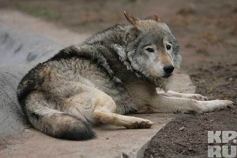жировики только приколы с тамбовским волком фото этого