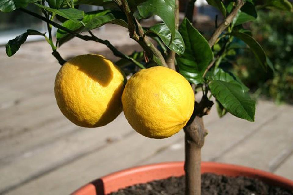 лимон кемерово на ленина