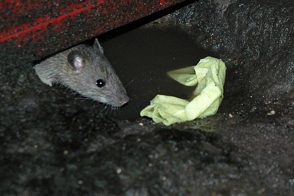 Крыса обесточила японскую АЭС