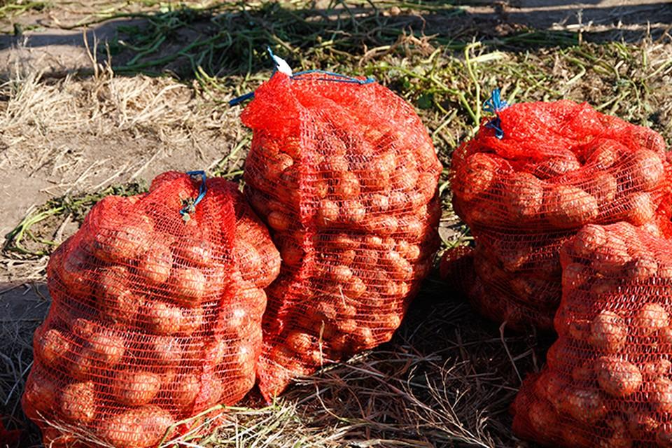 Как отличить хороший семенной картофель от зараженного