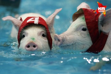Ветеринары ищут свиней-нелегалов в Тверской области