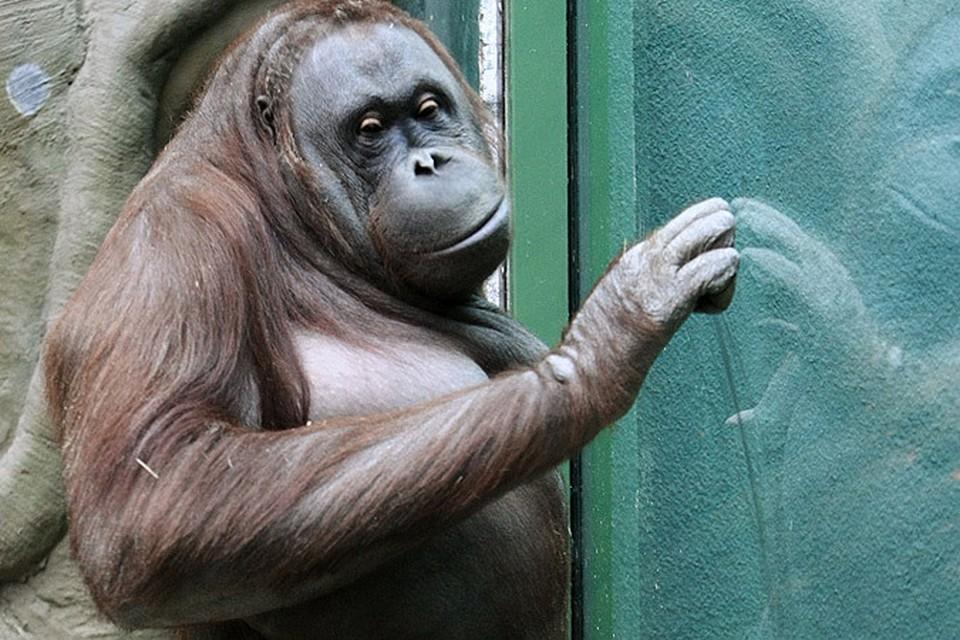 Содержание самки орангутанга в зоопарке Буэнос-Айреса , где она прожила 20 лет, признали незаконным.