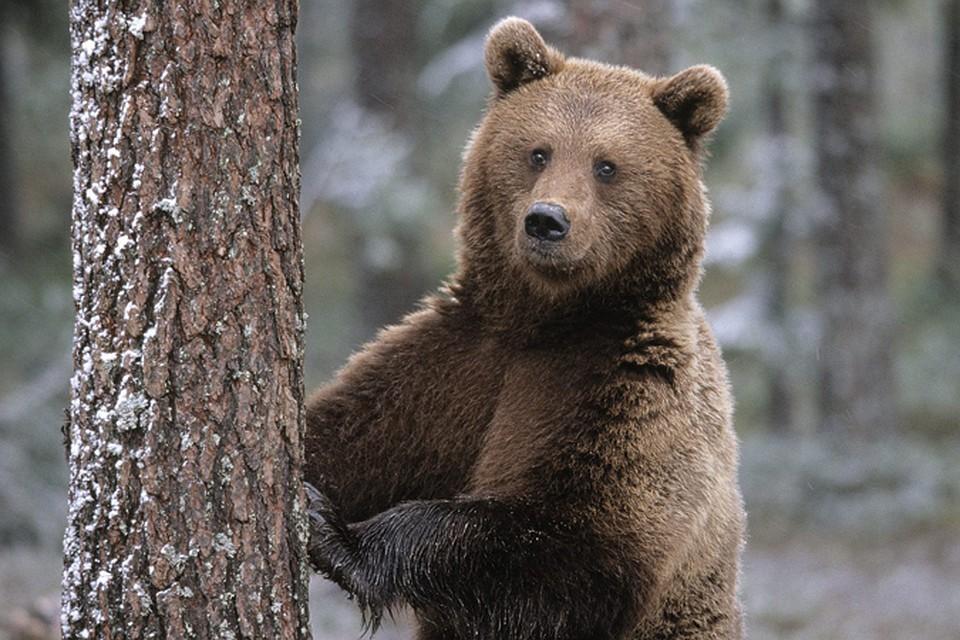 Десять бурых медвежат спасли вТверской области
