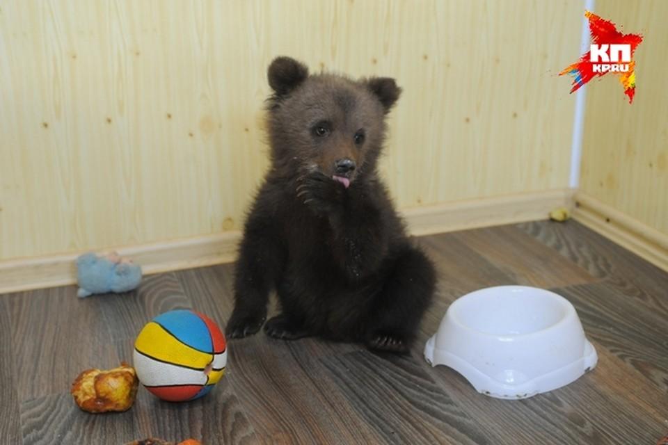 Как двухмесячный медвежонок попал из леса в Пермь - остается загадкой.