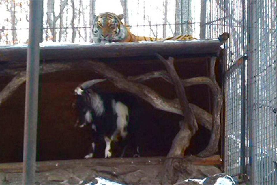 Дружелюбный тигр теперь спит на улице. Фото: сафари-парк