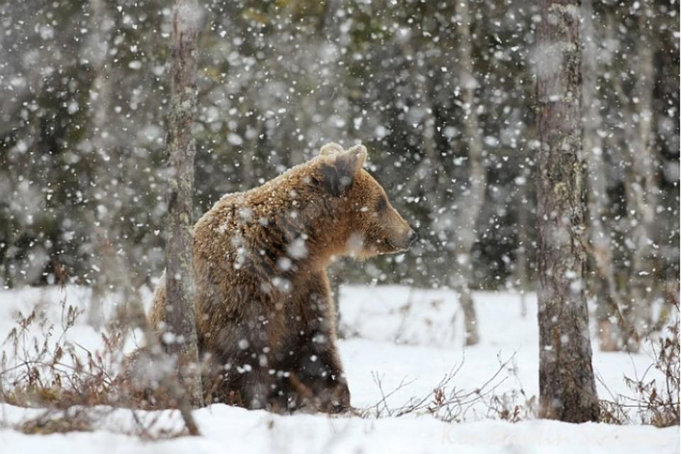На медведей приятно смотреть только издалека. Не дай Бог такого встретить в дикой природе. Фото: Константин ШАТЕНЕВ