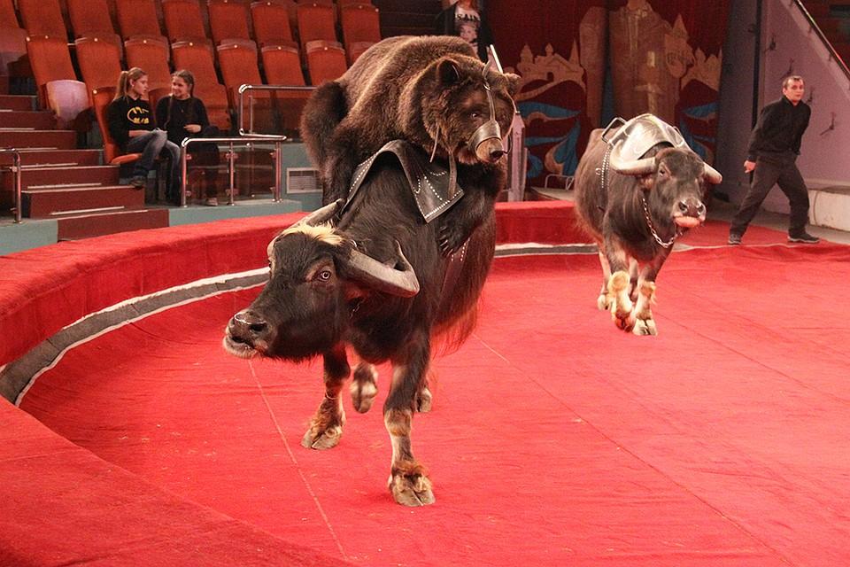 все фото цирка медведи на буйволах витязево уходит своими