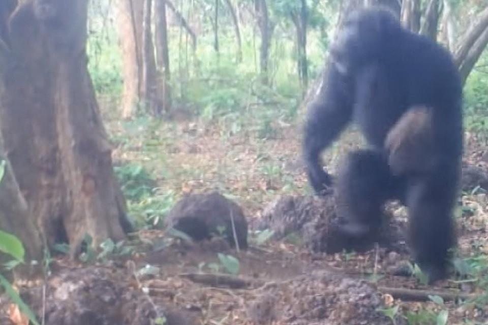 Африканские шимпанзе выискивают каменные «ножи», чтобы разрезать твердые плоды хлебного дерева.