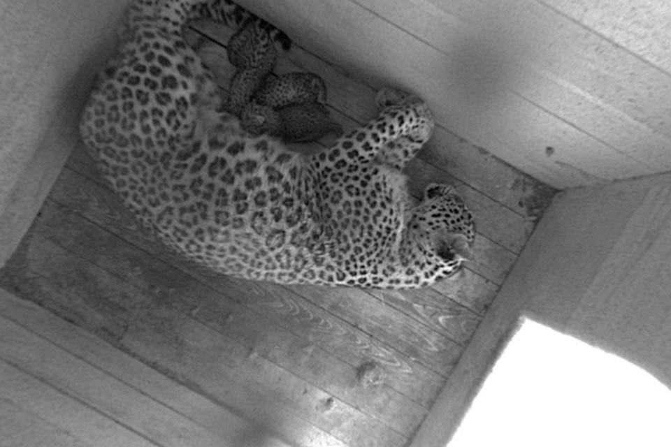 Сейчас крохи вместе с мамой находятся в спецвольере для новорожденных. Фото: Центр восстановления леопарда на Кавказе