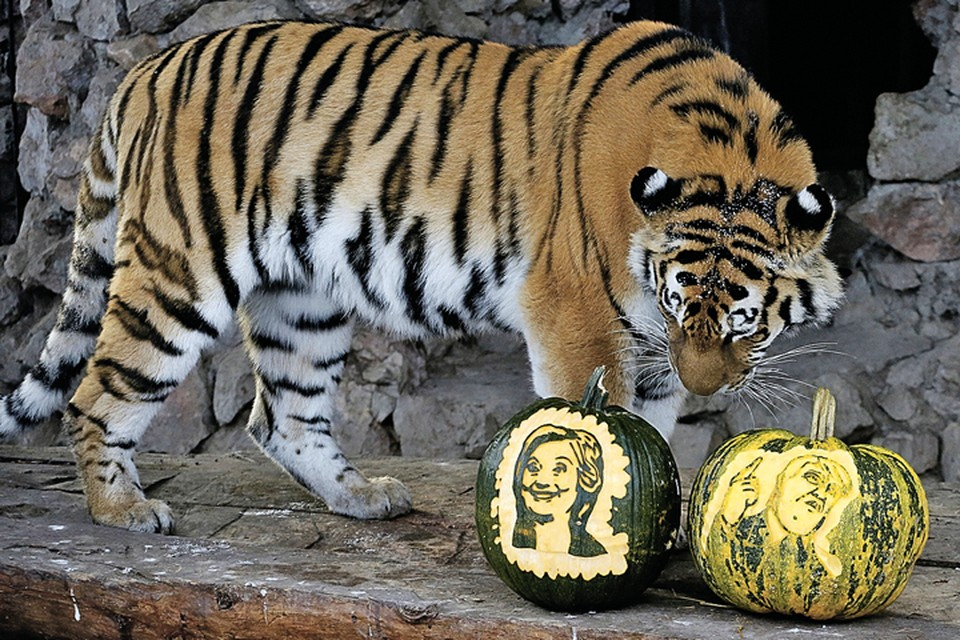 На исход выборов в США сейчас гадают даже хвостатые эксперты. Например, вот эта амурская тигрица Юнона из красноярского зоопарка «Роев ручей».