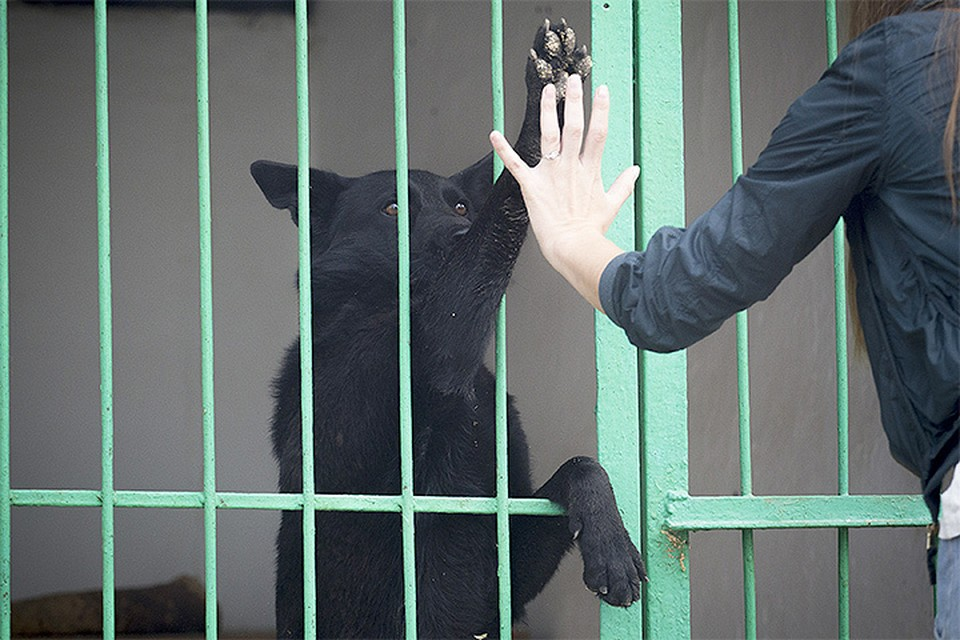 Зоозащитники с нетерпением ждут нового федерального закона о гуманном отношении к животным, инициированногоВладимиром Путиным и министром природных ресурсов Сергеем Донским.