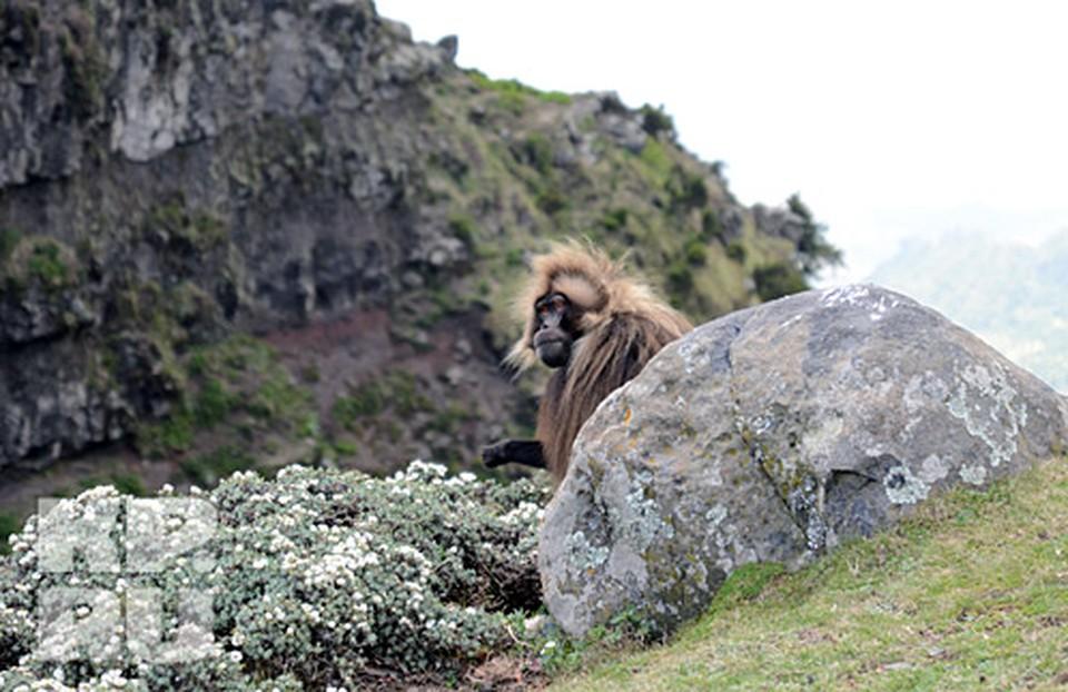 Самец Гелады эфиопский бабуин