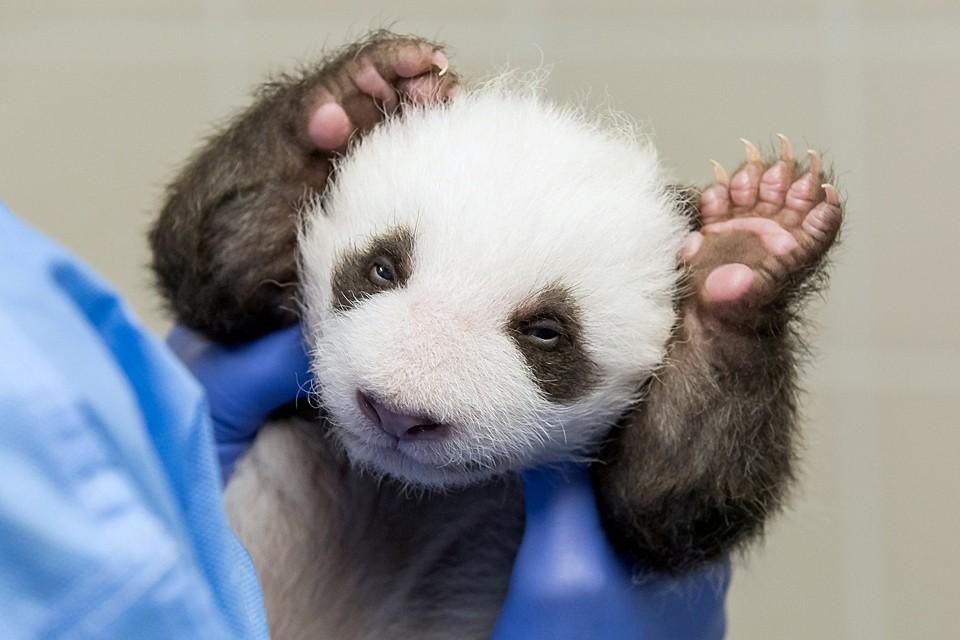 Сотрудники Берлинского зоопарка представили публике детенышей гигантской панды, появившихся на свет в конце лета