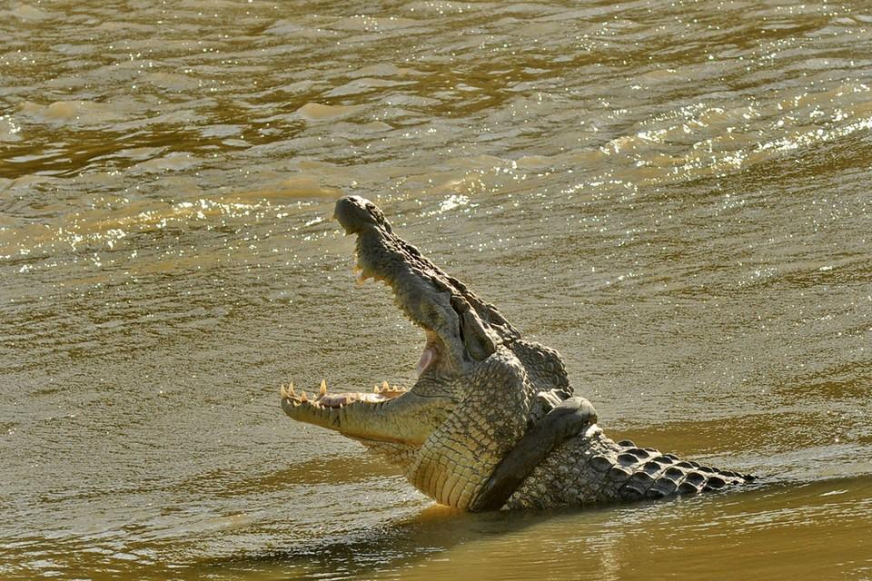 В Индонезии в водоеме сфотографировали огромного крокодила с шиной, застрявшей на шее.