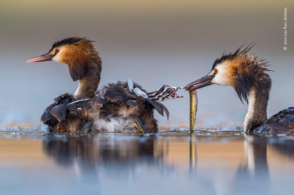 """""""Завтрак на рассвете"""" / Jose Luis Ruiz Jiménez (Испания) / Wildlife Photographer of the year"""
