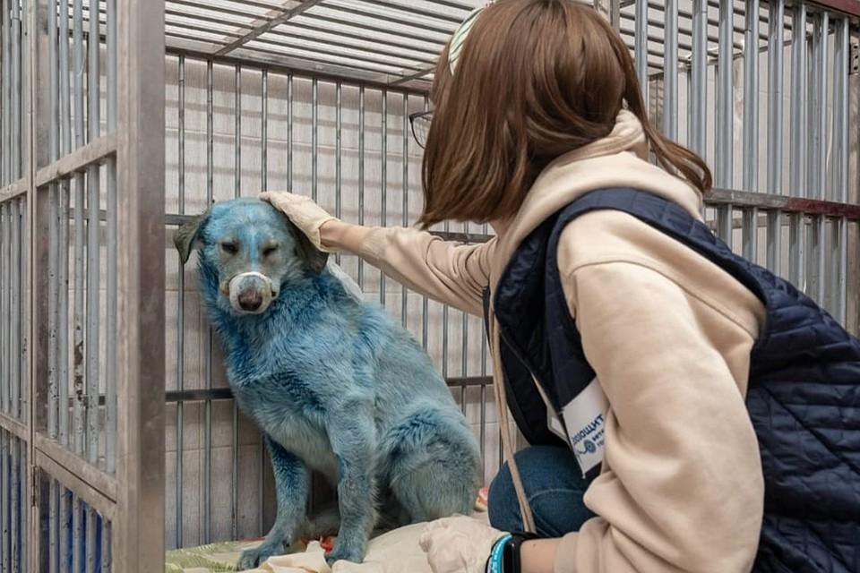 """В промзоне Дзержинска были отловлены собаки, шерсть которых окрашена в синий цвет. Состояние собак оценивают как удовлетворительное. Результаты токсикологических экспертизы, которая объяснит появление синего окраса, будут позже. Фото: """"Зоозащита-НН"""""""