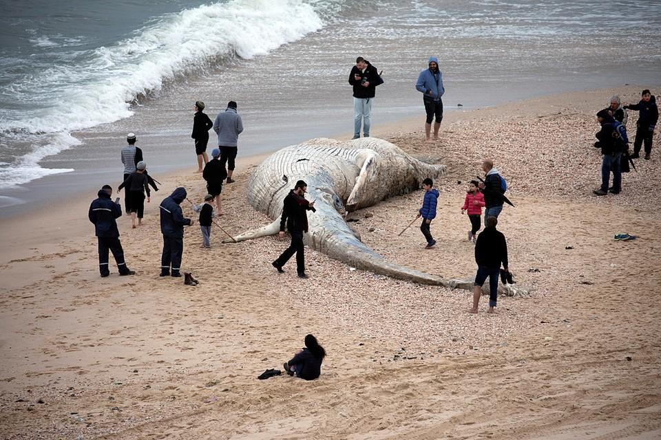 """Тушу 17-метрового кита выбросило на пляж заповедника """"Ницаним"""" в Израиле"""