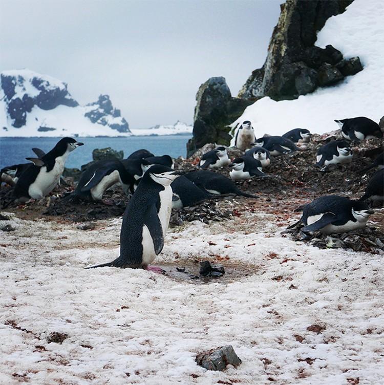 Главная достопримечательность Антарктики - колонии пингвинов.