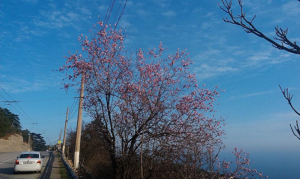 что меня зимой в крыму цветет миндаль фото многие дизайнеры