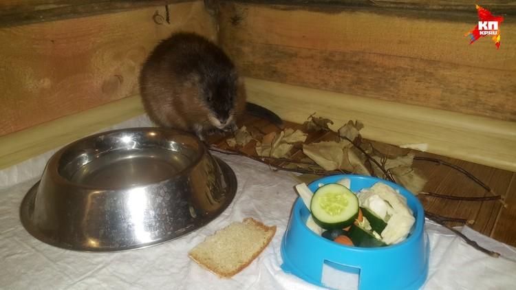 Обед ондатры - овощи, хлеб, витамины. И березовый веник для заточки зубов. Фото: Александр Мотырев.