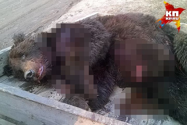Раненый медведь до последнего боролся с охотником Фото: Кристина КАЗАНЦЕВА