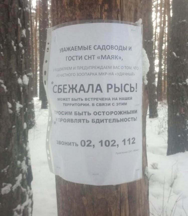 Красноярцев предупреждают: из частного зоопарка в микрорайоне «Удачном» сбежала рысь