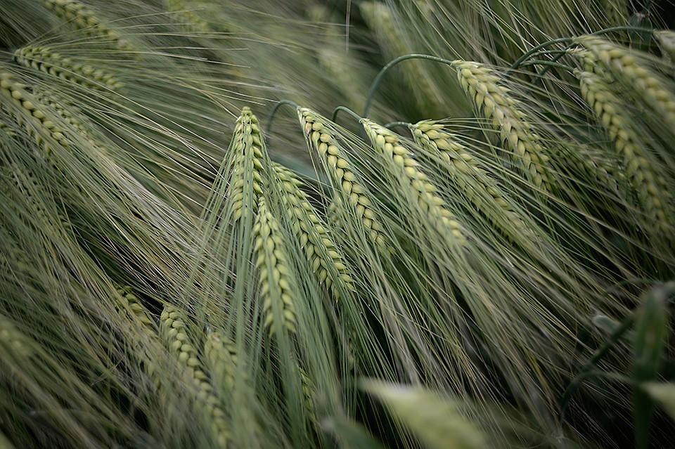 Пшеница сорта картинки