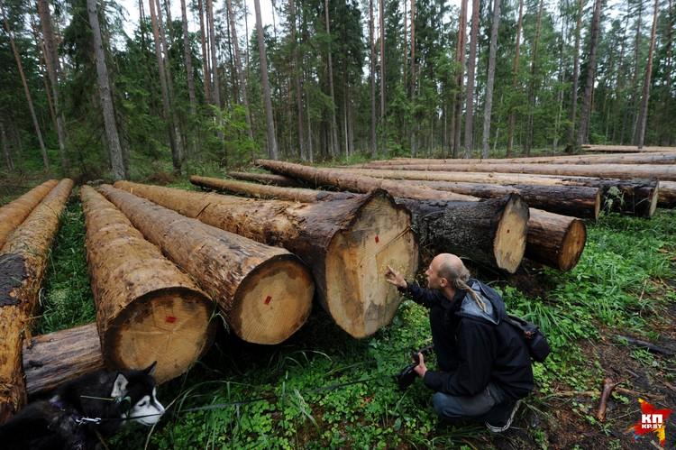 По кольцам Лукаш подсчитал, что спиленному дереву больше 100 лет.