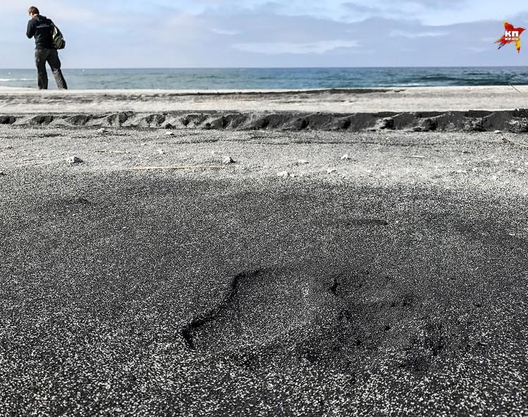 Следы медведей можно встретить даже на пляже