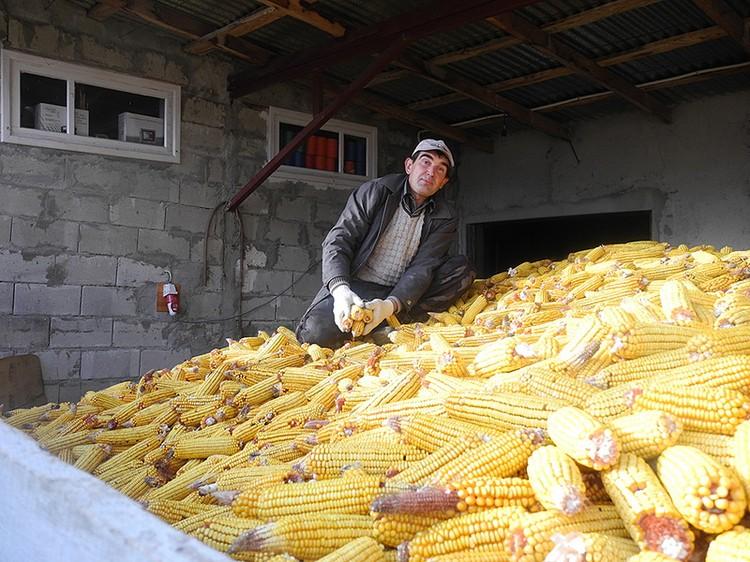 Главное национальное блюдо мамалыга делают из кукурузы