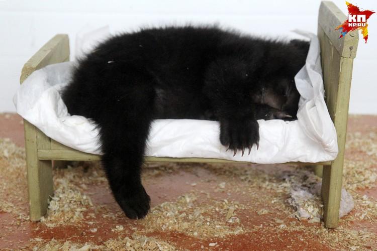 Пока у маленьких обителей зоопарка нет распорядка дня. Медвежата Тема и Маня много спят.