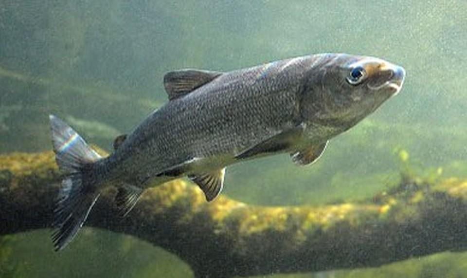 пропорций сиг балтийский рыба фото дочь, гражданство