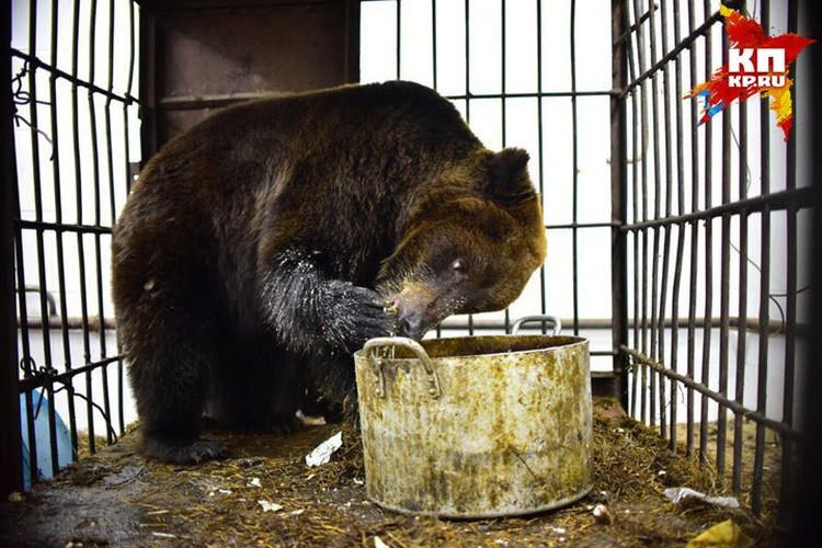 Рацион у медведицы - как у зажравшегося вегетарианца