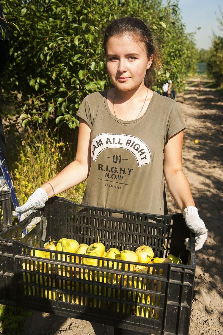 В Мичуринском саду академии собирать урожай груш и яблок помогают студенты-первокурсники. Фото: timacad.ru