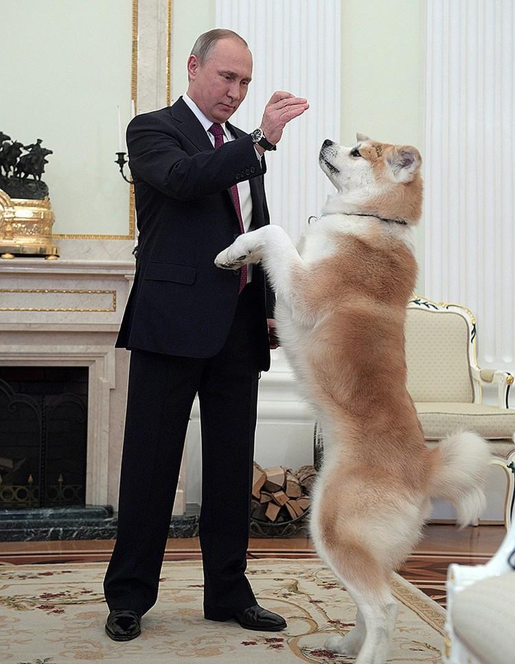 Подарок японского премьера - собака породы акита-ину по кличке Юмэ