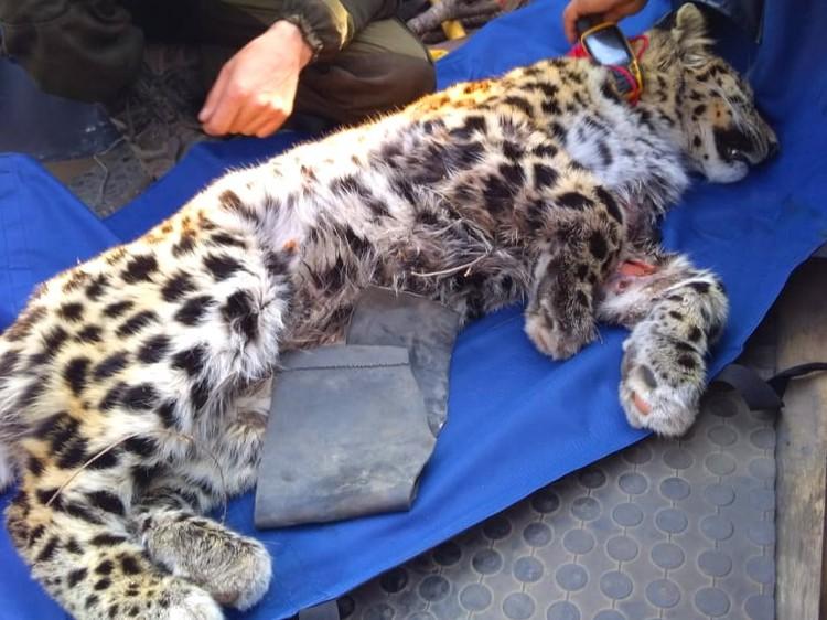 Леопард в центре реабилитации. Несколько недель он находился на грани жизни и смерти. Фото: leopard-land.ru