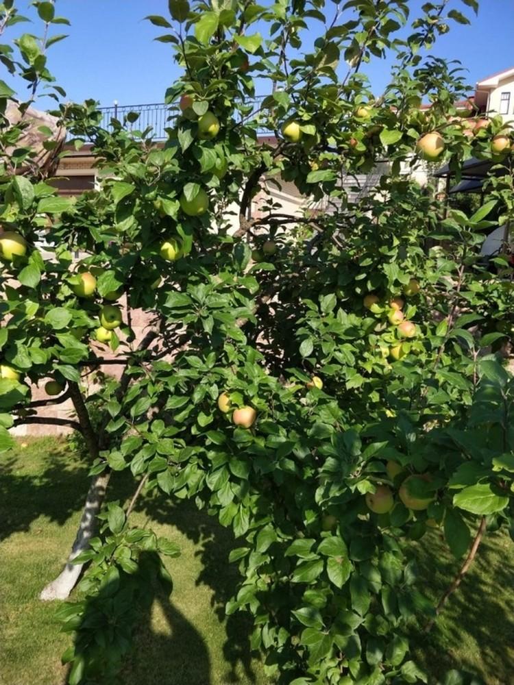 Яблоневый сад - это отдельная гордость.