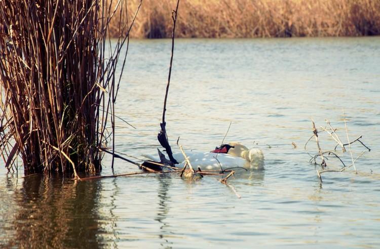 Лебедь запутался в леске. Фото: Михаил Колесник