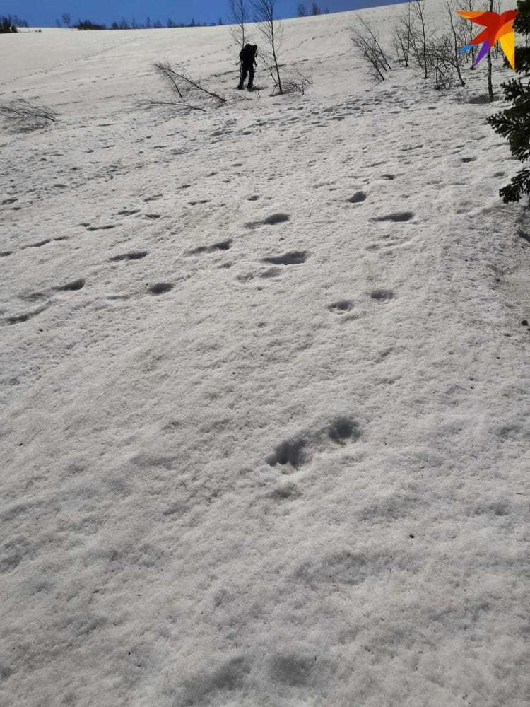 Свежие следы медведицы. Нашли ещё следы медвежонка.